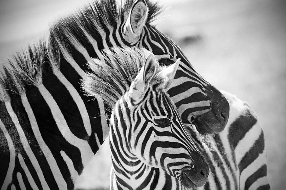 Fototapeta Czarno białe zebry w czerni i bieli - obraz na płótnie