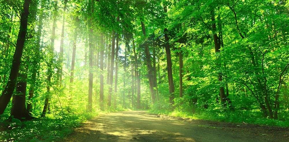 Fototapeta Zielony las liściasty - obraz na płótnie