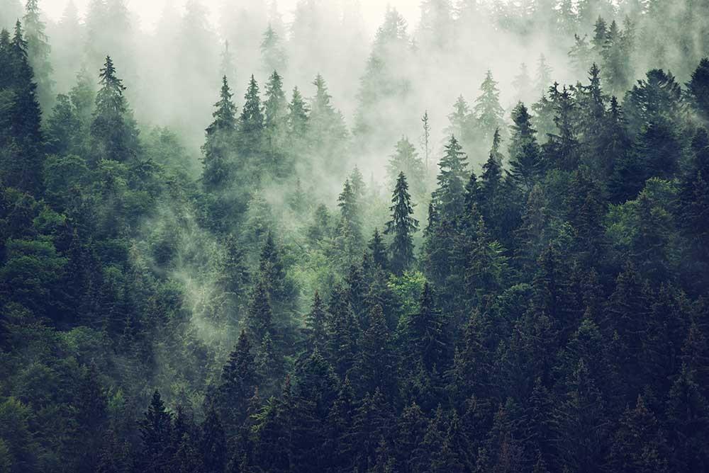 Piękny las we mgle - obrazy, fototapety, plakaty