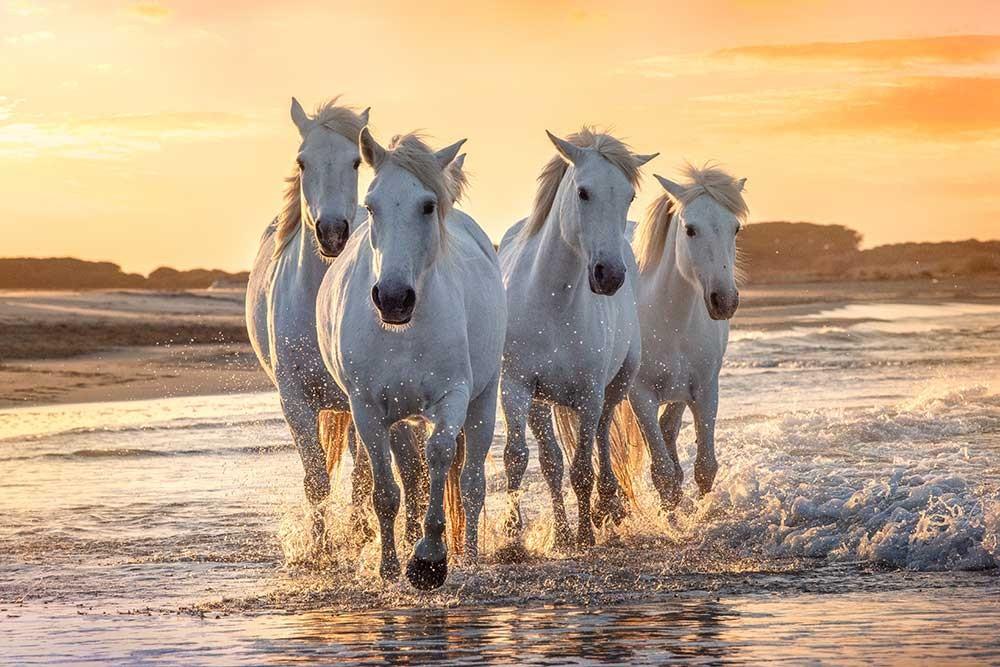 Obraz do salonu białe konie galopujące w pięknym świetle zachodzącego słońca - obrazy, fototapety, plakaty